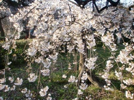 枝垂れ桜 3