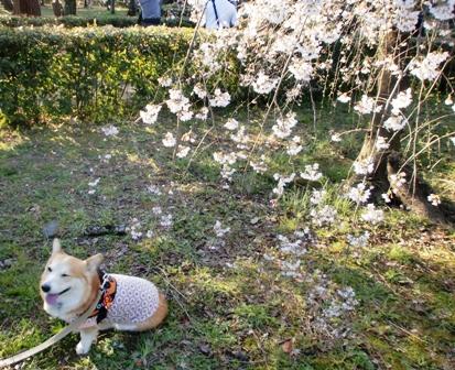 枝垂れ桜 8
