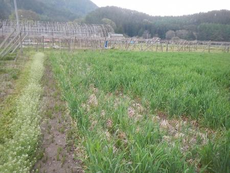 大麦 (2)