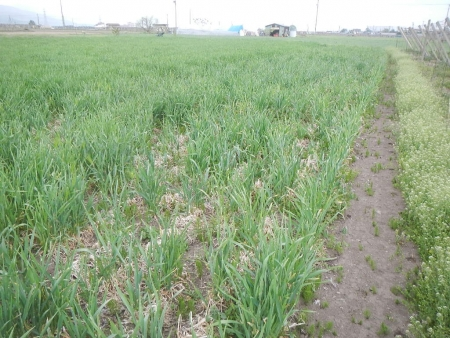 大麦 (1)