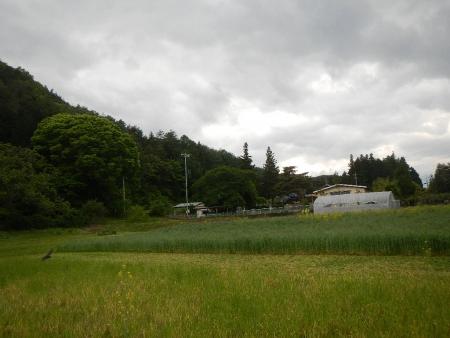 南部小麦 (3)