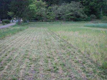 南部小麦 (2)