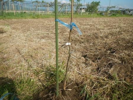 果樹定植作業 (3)