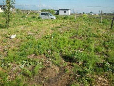 果樹定植作業 (8)