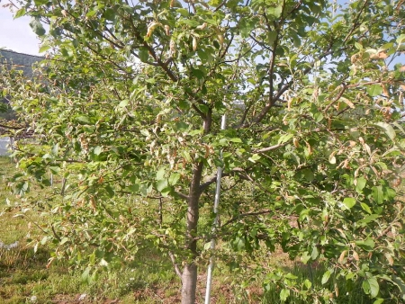 果樹定植作業 (6)