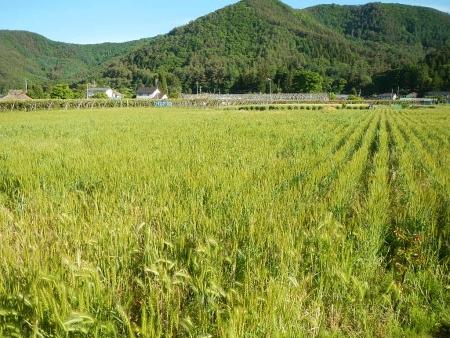 ムギ畑 (2)