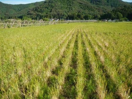 ムギ畑 (1)