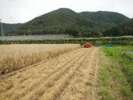 大麦の刈り取り (3)