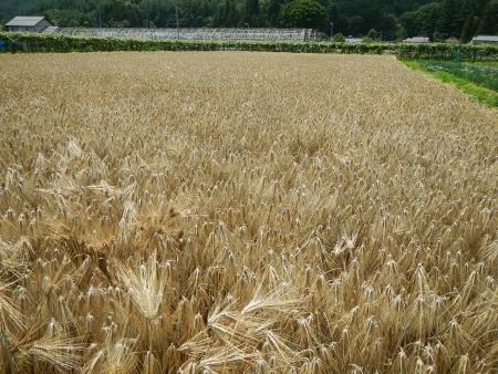 大麦の刈り取り (1)