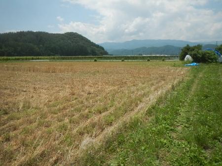 ハナマンテン小麦 (2)
