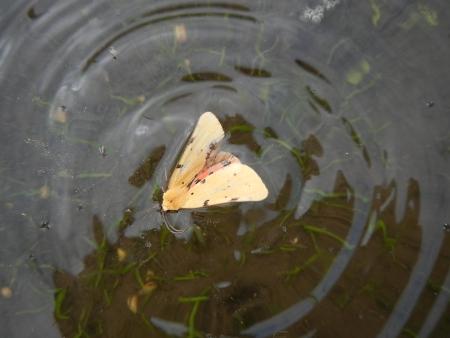 田んぼの蝶 (8)