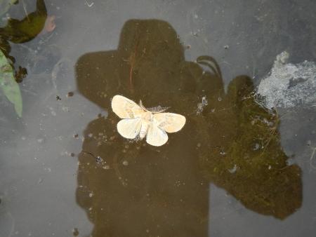 田んぼの蝶 (2)
