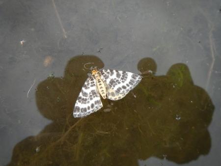田んぼの蝶 (1)