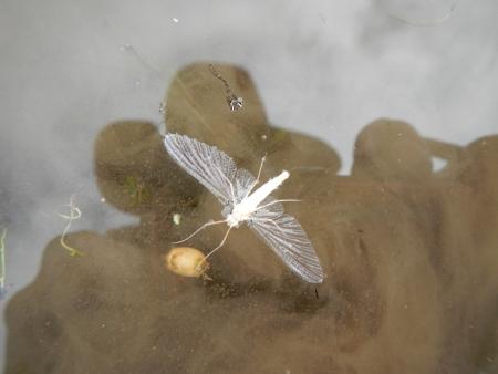 田んぼの蝶 (12)