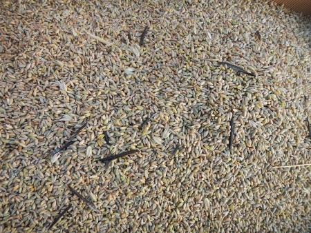 ライ麦刈り取り (11)