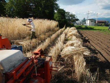 ライ麦刈り取り (9)