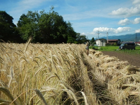 ライ麦刈り取り (7)