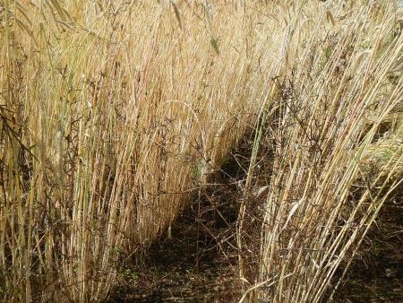 ライ麦刈り取り (4)