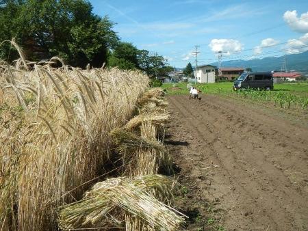 ライ麦刈り取り (2)