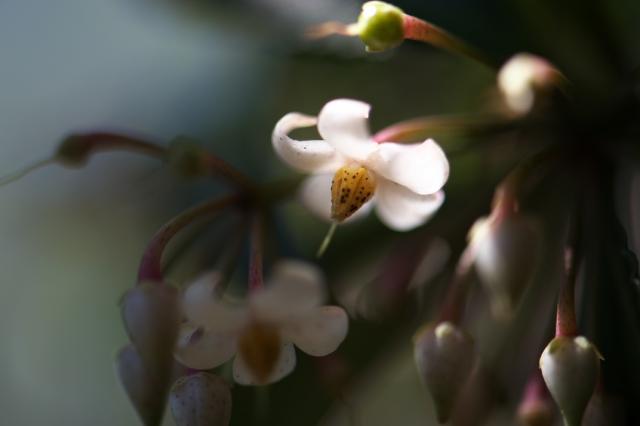 万両の花-03