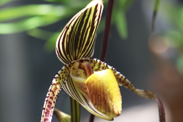 paphiopedilum-st-swithin-07-13-2015-04.jpg