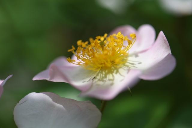 Rosa.sinowilsonii-02