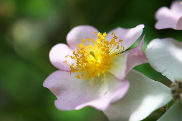Rosa.sinowilsonii-03