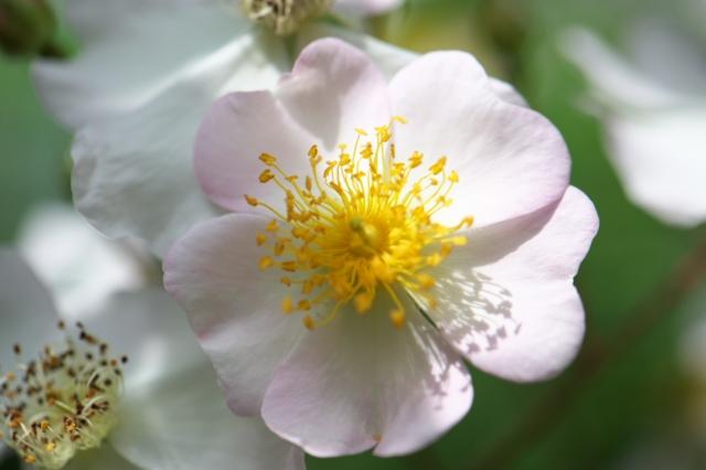 Rosa.sinowilsonii-01