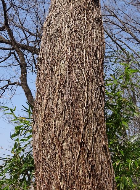 蔓性植物に巻きつかれた木