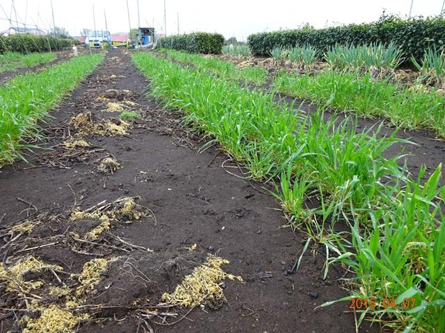 麦も大分成長してきた