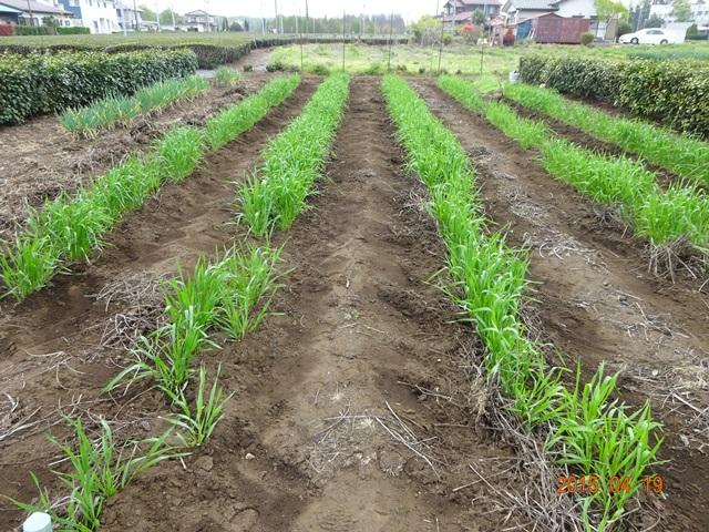 麦の土寄せ