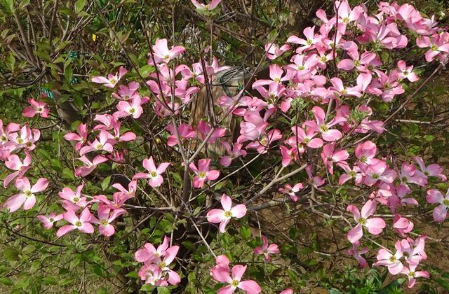 アメリカハナミズキの花1