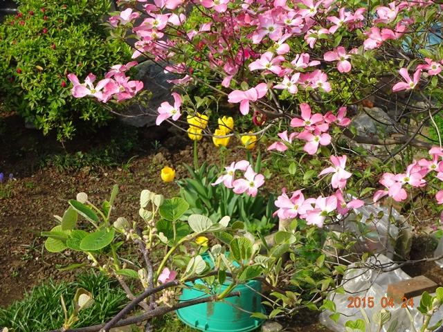 アメリカハナミズキの花2