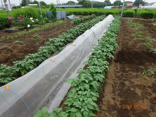 ジャガイモの畝間に植えたマクワウリ