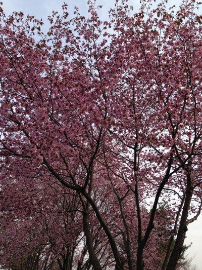 20150507 北海道北見市 桜