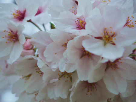 桜満開10