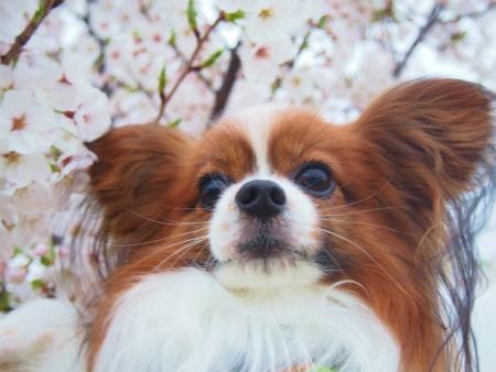 桜満開13