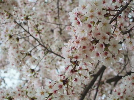 咲く桜10