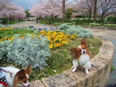 咲く桜12