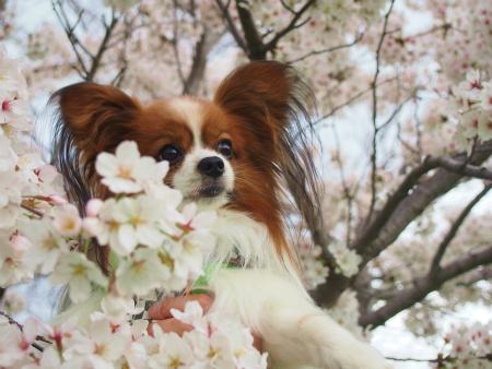 咲く桜14
