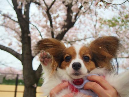 咲く桜11