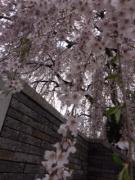 2015年 城山西小 校庭西の桜