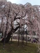 2015年孝子桜