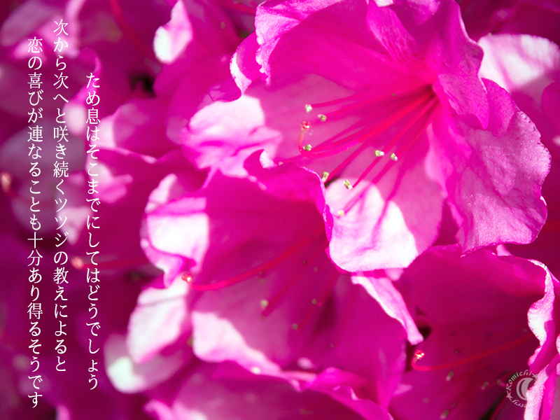 bloominng azaleas