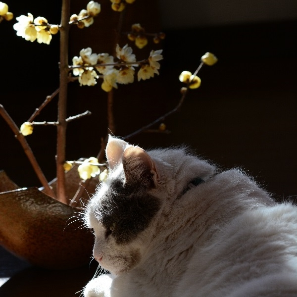 満月蝋梅(マンゲツロウバイ)と猫_20150117_DSC_ 1s回転