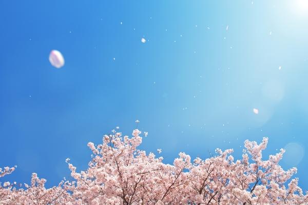 cherry-blossom_00003.jpg