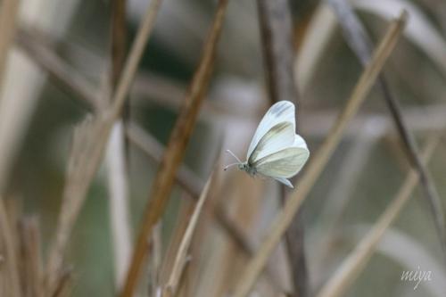 ヒメシロ蝶飛びmネ995A2218 -2