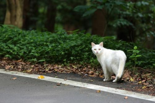 よそ猫白mネ032A9391 -2
