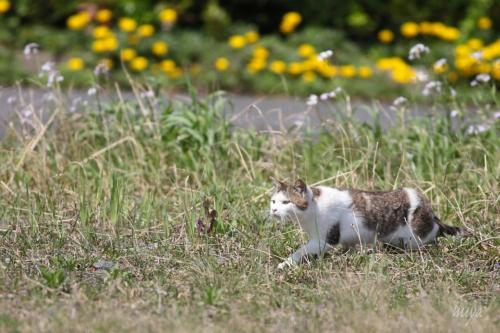 よそ猫雉ぶちmネ032A7364 -2