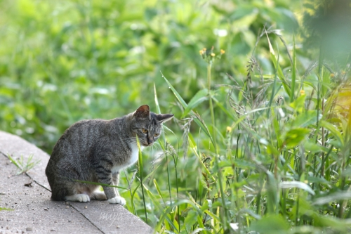 よそ猫下雉白mネ032A8310 -2